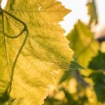 Foto del profilo di Emiliano Fini viticoltore
